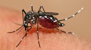 Aedes_aegypti_feeding2